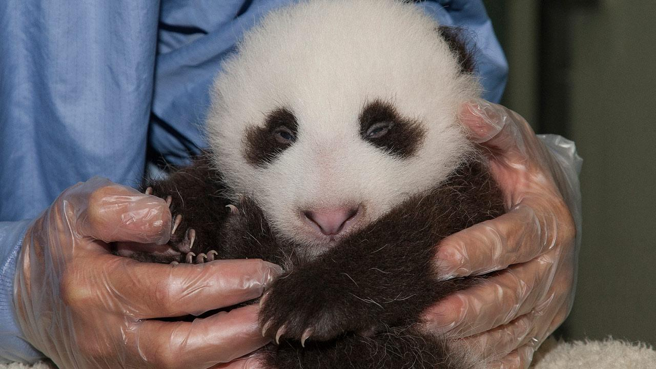 A panda cub is shown in this photo taken on Thursday, Sept. 20, 2012.