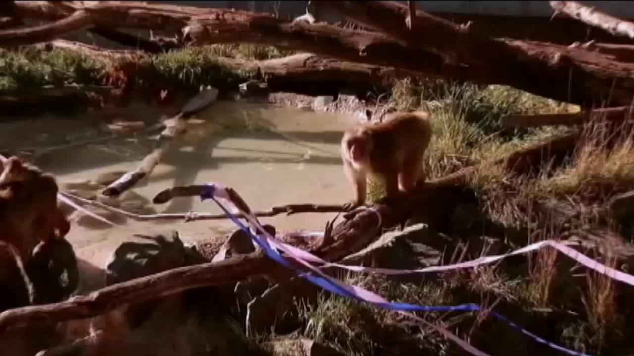 Nikko turned 29 years old this week, making him the oldest snow monkey in North America.