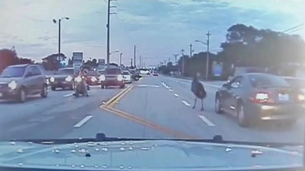 Emu wanders onto Fla. hwy looking for mate