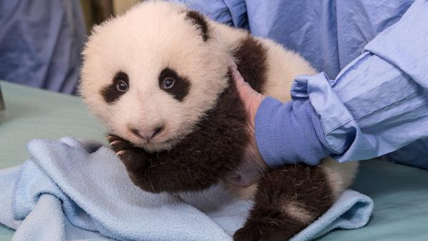 The panda cub at the San Diego Zoo is shown during his seventh exam in this photo taken on Thursday, Oct. 4, 2012.