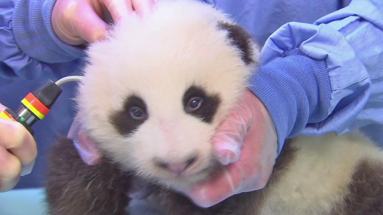The panda cub at the San Diego Zoo is shown during his seventh exam in this photo taken on Thursday, Oct. 4, 2012. <span class=meta>(San Diego Zoo)</span>
