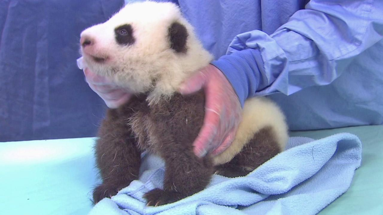The panda cub at the San Diego Zoo is shown during his seventh exam in this photo taken on Thursday, Oct. 4, 2012.San Diego Zoo