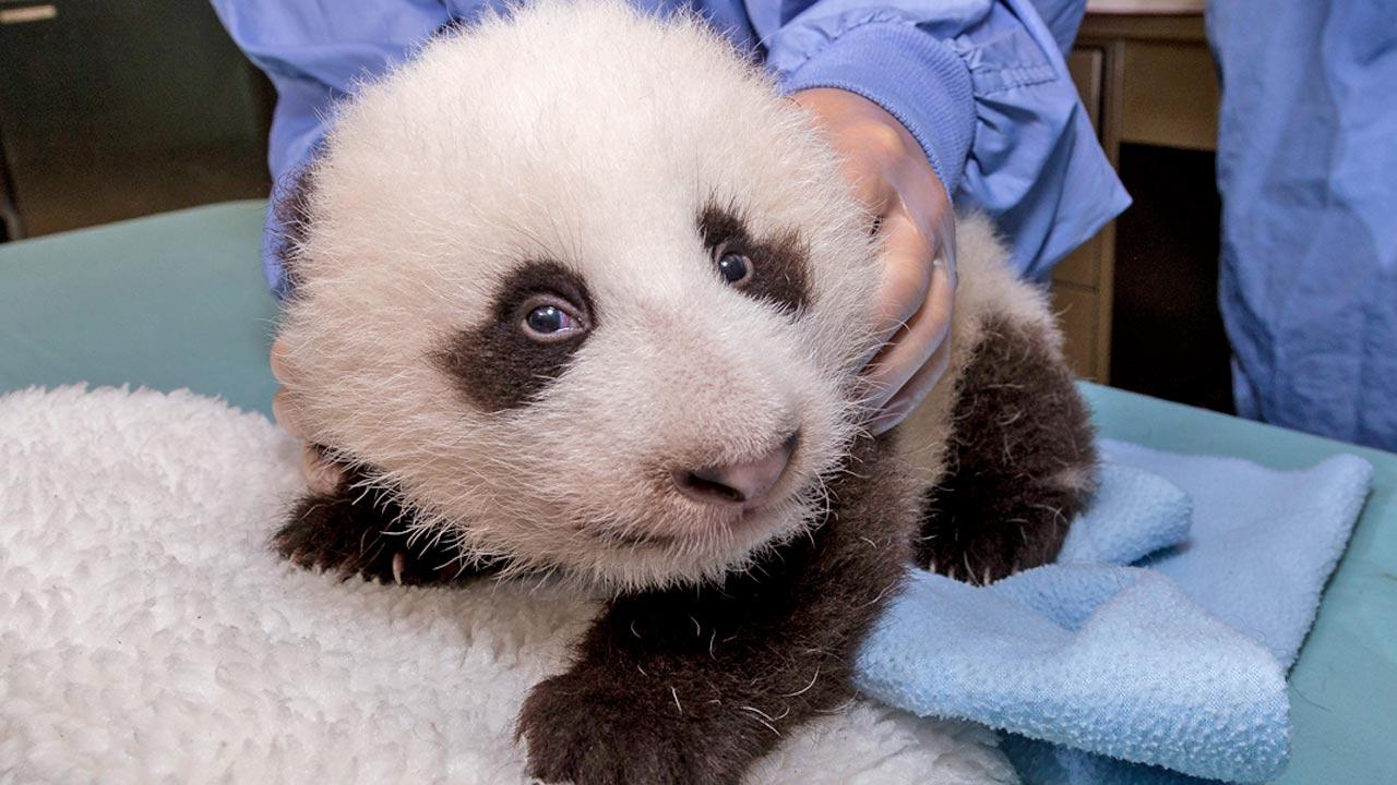 A panda cub is shown in this photo taken on Tuesday, Oct. 9, 2012.San Diego Zoo