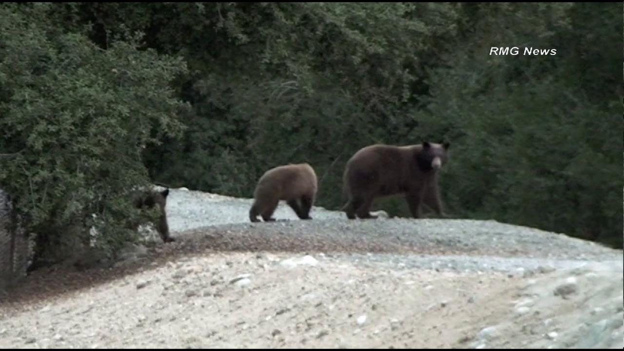 A mama bear and two cubs were spotted wandering around in a neighborhood in the Pasadena foothills on Monday, Oct. 22, 2012.