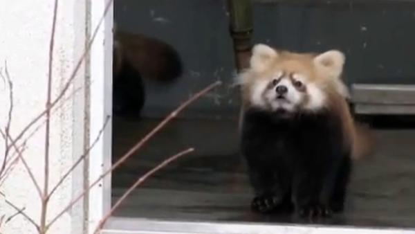Adorable video of baby panda goes viral