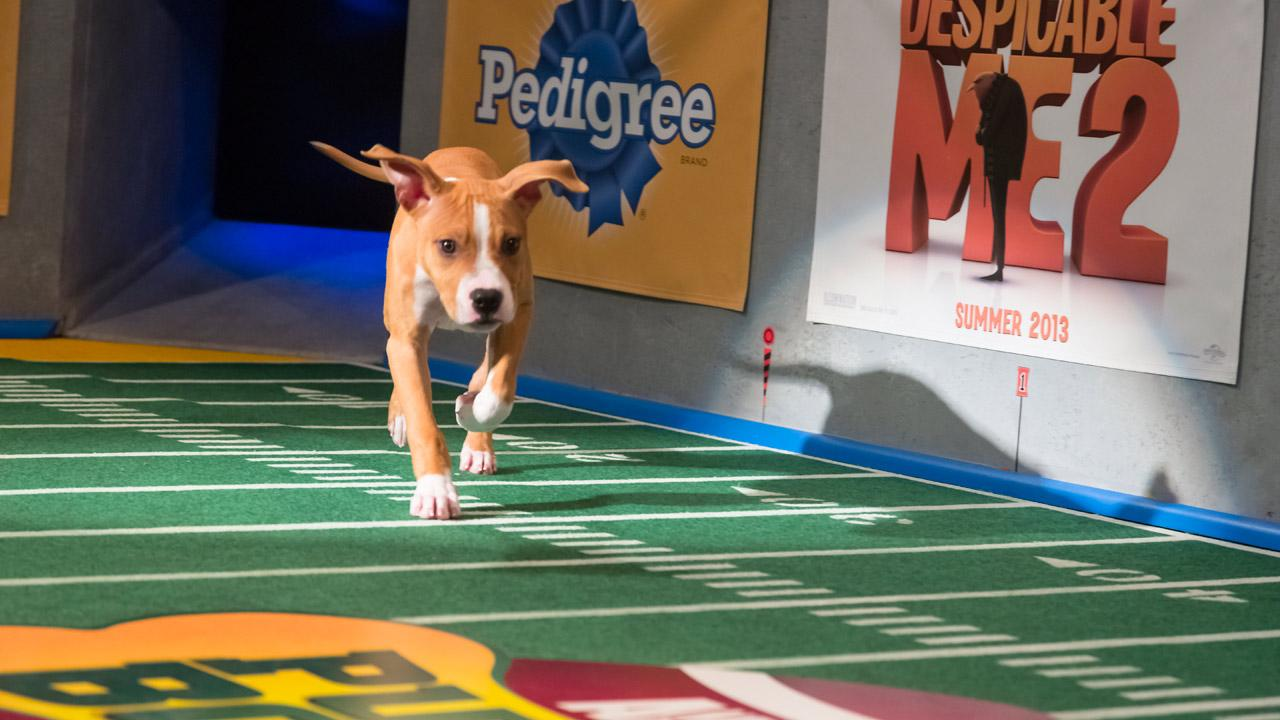 Dogs make their first entrance on the field during Animal Planets Puppy Bowl IX, airing Sunday, Feb. 3, 2013.Animal Planet