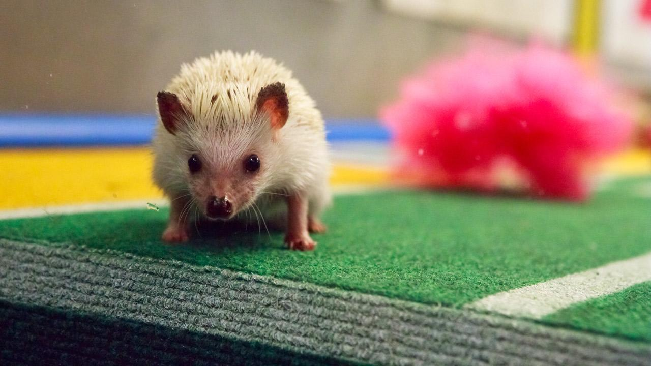 A cheerleading hedgehog on the field with pompoms during Animal Planets Puppy Bowl IX, airing Sunday, Feb. 3, 2013.Animal Planet