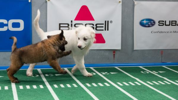 Dogs play on the field during Animal