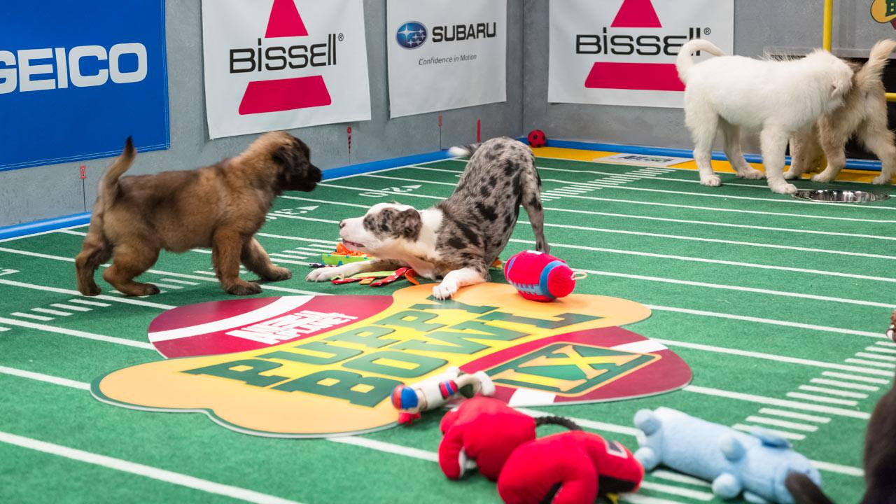 Dogs play on the field during Animal Planets Puppy Bowl IX, airing Sunday, Feb. 3, 2013.Animal Planet