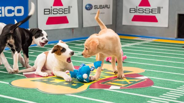 Dogs play on the field during Animal Planet's Puppy Bowl IX, airing Sunday, Feb. 3, 2013.