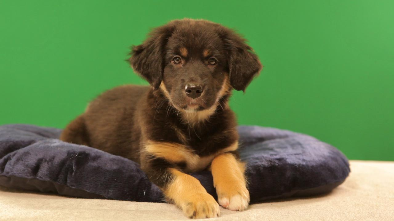 Puppy Bowl IX starter Althea is a 9-week-old female Australian Shepherd-Catahoula mix. She loves to play and snuggle.Animal Planet