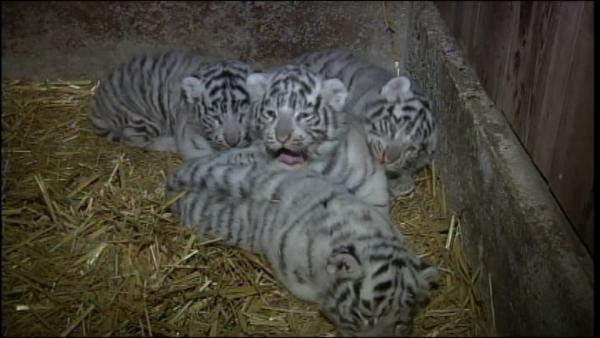 Some very rare quadruplets recently made their public debut at an Austrian zoo.