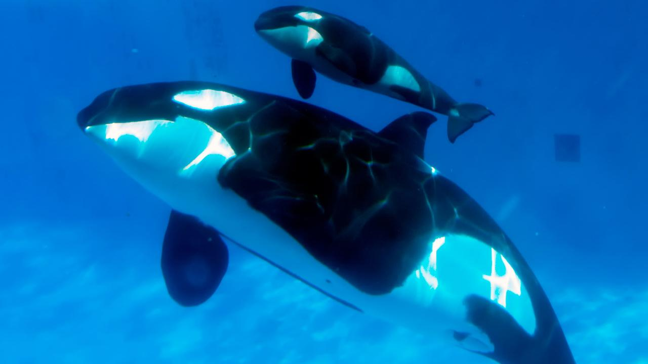 A mother Orca and her calf are seen in a still image provided by SeaWorld.
