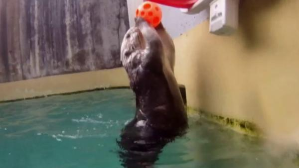 Sea otter dunks to exercise joints at OR zoo