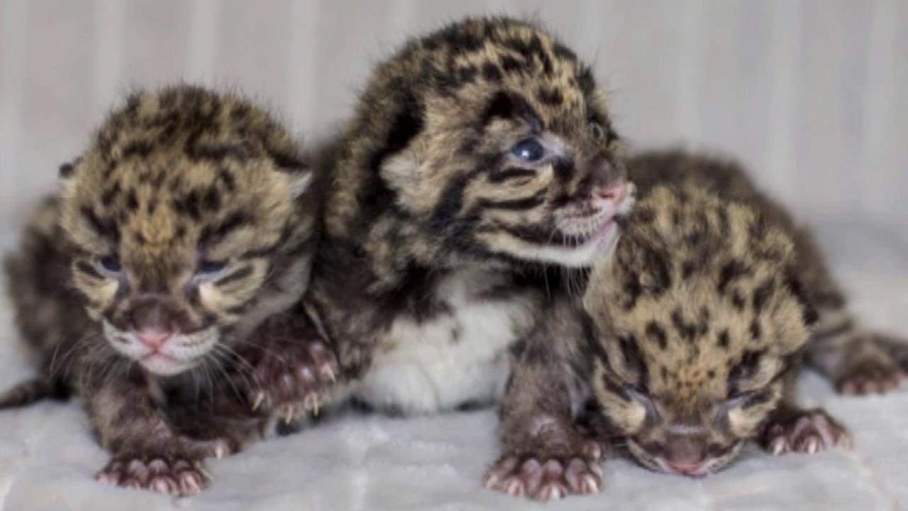 The Nashville Zoo in Tennessee recently welcomed three adorable clouded leopard cubs to its family.