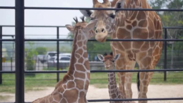 The Natural Bridge Wildlife Ranch in Texas is celebr
