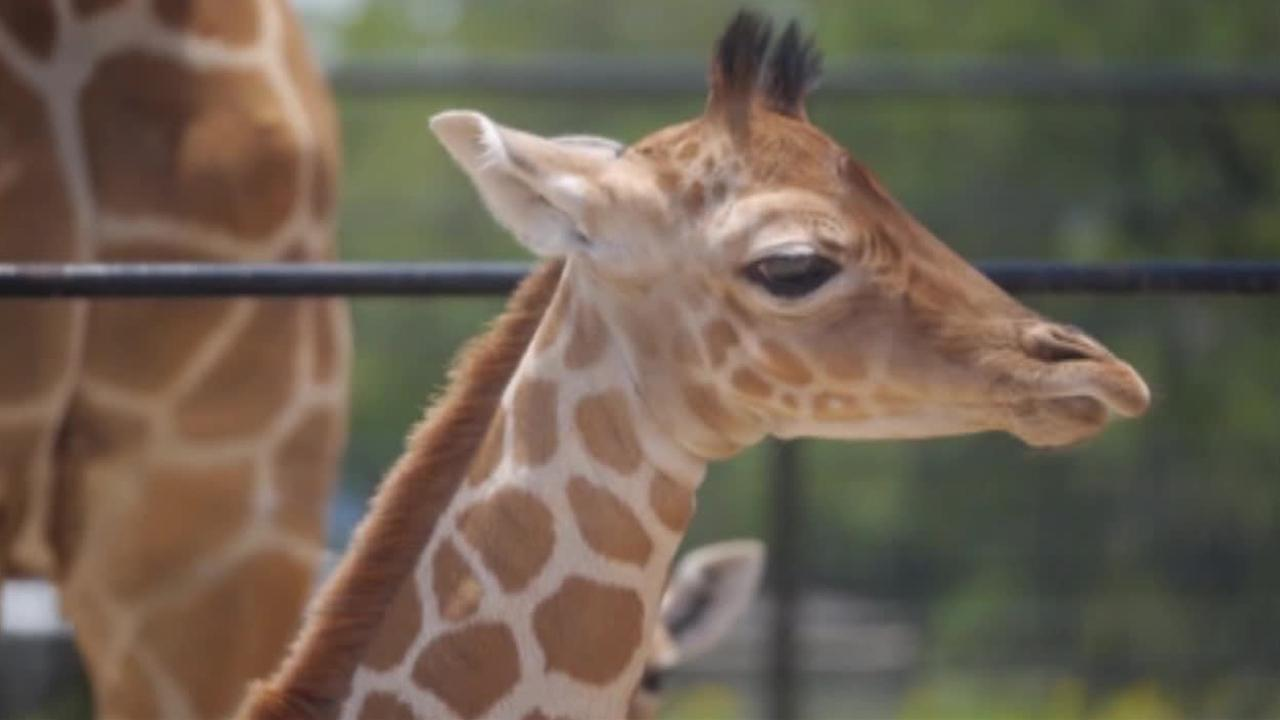 The Natural Bridge Wildlife Ranch in Texas is celebrating the rare birth of twin giraffes.