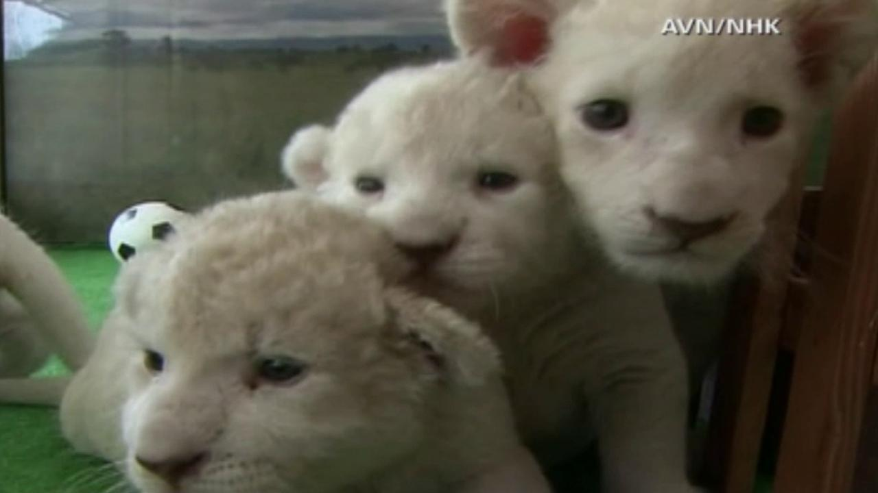 Three of five white lion cubs that recently made their public debut at Himeji Central Park in Himeji, Japan, are seen in this undated photo.
