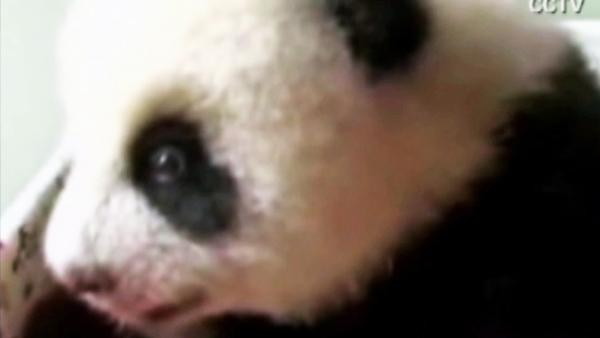 Panda cub soaks in sunshine at Taipei Zoo