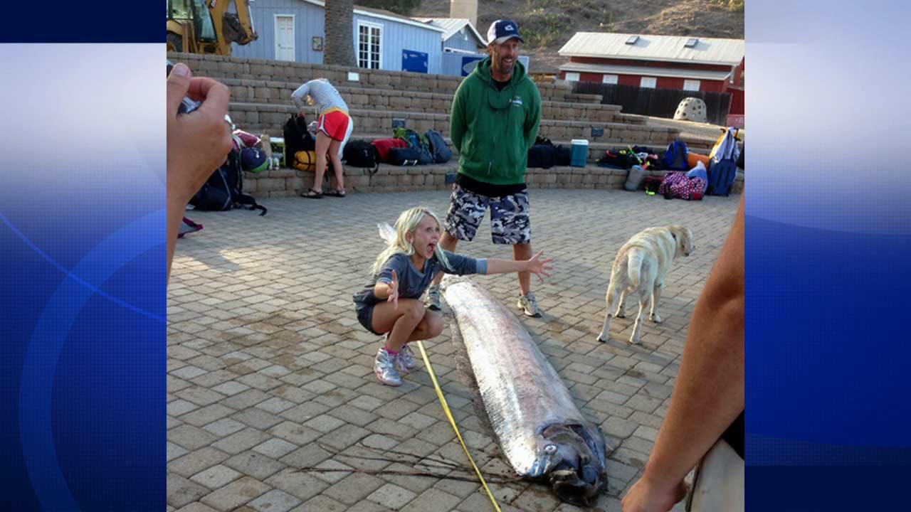 An 18-foot-long bony oarfish typically found in tropical waters was discovered off the coast of Catalina Island, Sunday Oct. 13, 2013.