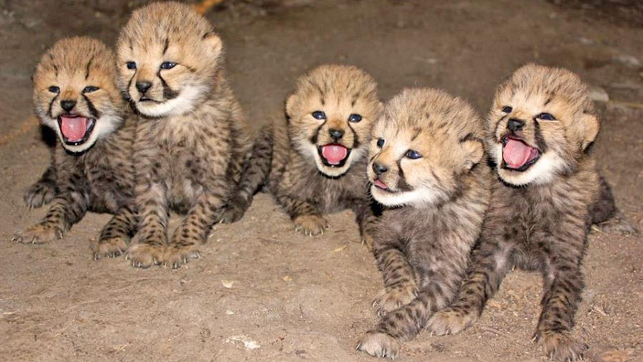 Five cheetah cubs, born on Oct. 6, are shown in this October 2013 photo posted on the Metro Richmond, Virginia Zoos Facebook page.