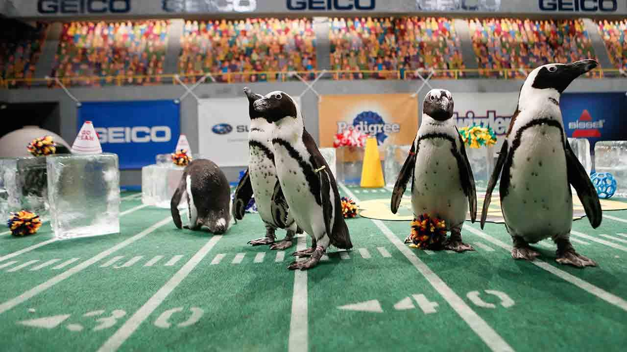 Penguins cheer on over 60 puppies as they score touchdowns on the field during Animal Planets Puppy Bowl X, airing Sunday, Feb. 2, 2014.Damian Strohmeyer/Animal Planet