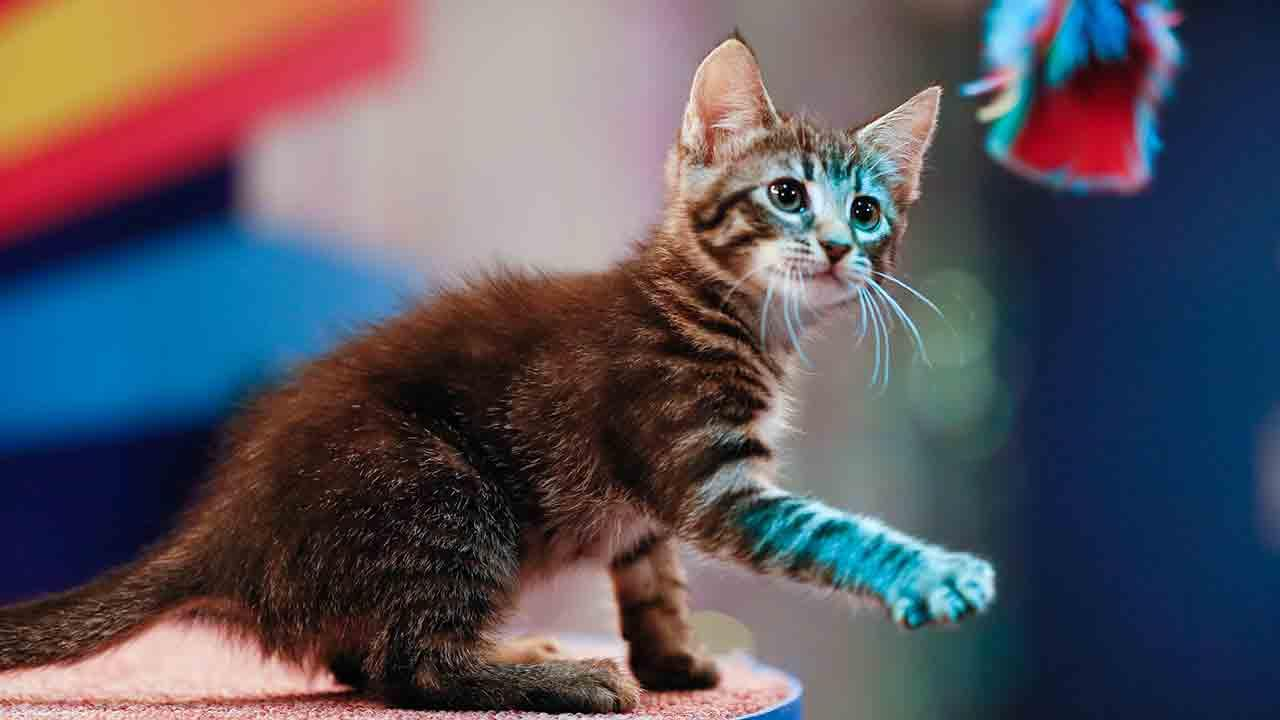 A kitten play on the field during Animal Planets Puppy Bowl X, airing Sunday, Feb. 2, 2014.Damian Strohmeyer/Animal Planet