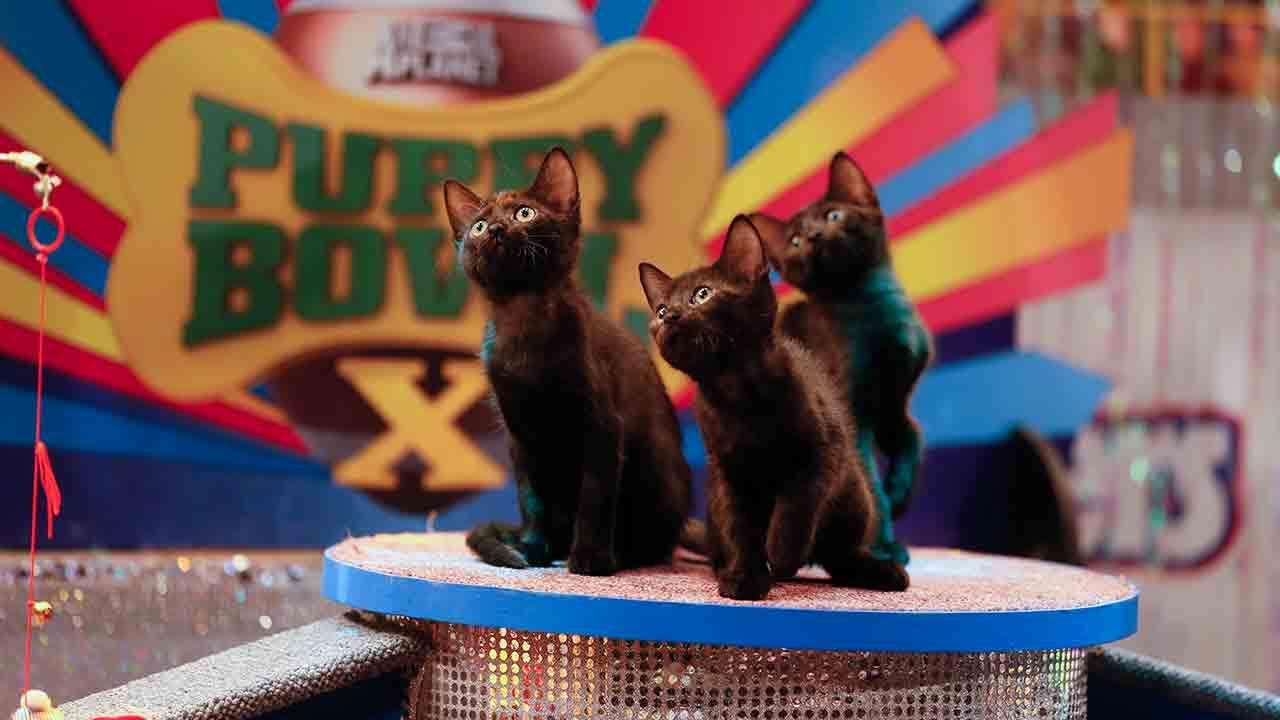 Three cats play on the field during Animal Planets Puppy Bowl X, airing Sunday, Feb. 2, 2014.Damian Strohmeyer/Animal Planet