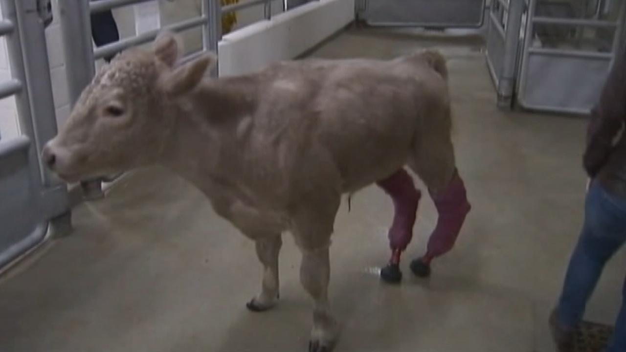 Hero, a calf that lost its hind legs to frostbite, is now able to walk on prosthetic legs.