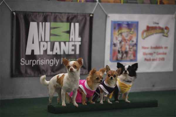 Animal Planet provided KABC-TV this image of Disney chihuahua actors at the Kitty Half-Time Show of Animal Planet&#39;s Puppy Bowl VII. <span class=meta>(Photo courtesy of Animal Planet)</span>
