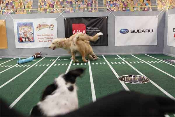 Animal Planet provided KABC-TV this image of Amy and another puppy on the field at the Puppy Bowl VII. <span class=meta>(Photo courtesy of Animal Planet)</span>