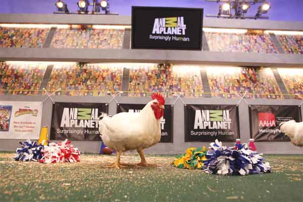 Animal Planet provided KABC-TV this image of a chicken playing during the Kitty Half-Time Show. <span class=meta>(Photo courtesy of Animal Planet)</span>
