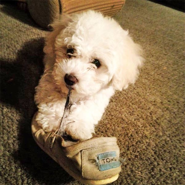 "<div class=""meta ""><span class=""caption-text "">To celebrate National Puppy Day on Saturday, March 23, we asked viewers to post pictures of their pooch on our Facebook page. Here's a photo from Silvia Salas Sanchez of her 4-month-old puppy Bichon Frise, Evee. (KABC)</span></div>"