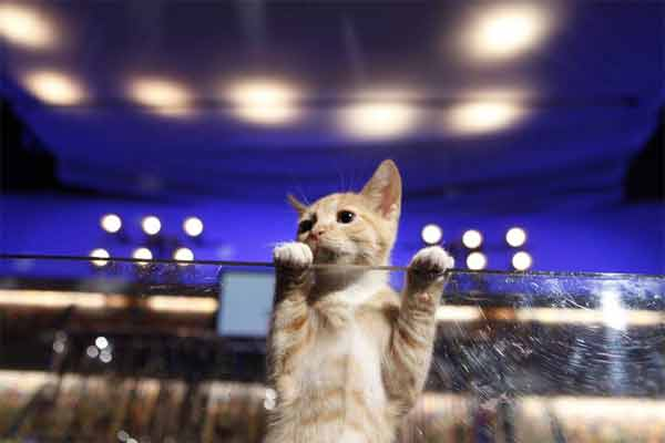 Animal Planet provided KABC-TV this image of kittens playing during the Kitty Half-Time Show. <span class=meta>(Photo courtesy of Animal Planet)</span>