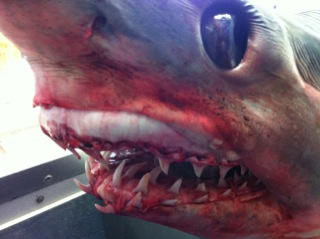 The shark is on display at a seafood business in Freeport, about 55 miles south of Houston.
