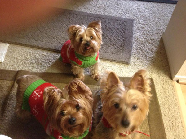 "<div class=""meta ""><span class=""caption-text "">To celebrate National Puppy Day on Saturday, March 23, we asked viewers to post pictures of their pooch on our Facebook page. Here's a photo from Melanie Hoffman of her Yorkshire Terrier puppies. (KABC)</span></div>"