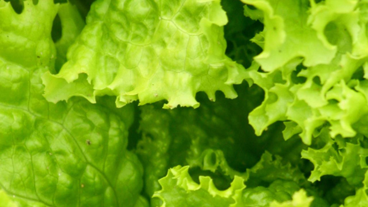 Romaine lettuce is seen in this undated file photo.