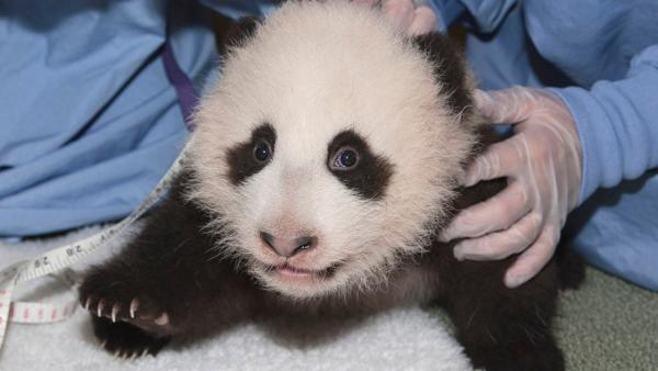 San Diego panda cub close to taking 1st steps