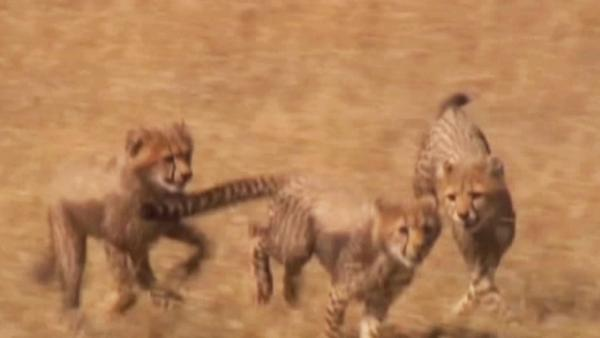 Cheetah cubs on display at Australian zoo