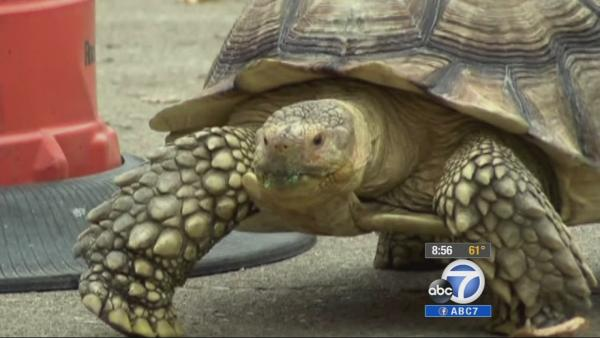 Giant turtle, Spike, helps alcoholic recover