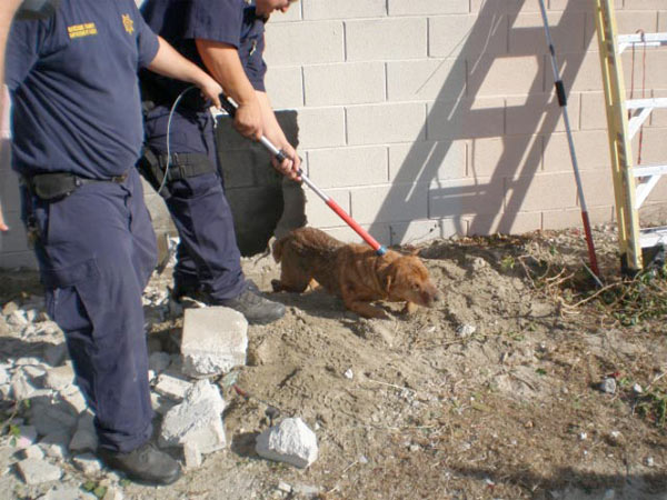 The male dog, believed to be about 4 years old, was nicknamed Wally and given a bean and cheese burrito, which he quickly gobbled up. <span class=meta>(Sgt. Luis Rosa, Riverside County Animal Services)</span>