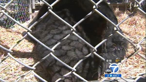 Bear busted stealing honey; finds new home