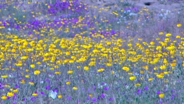 Borrego needs helpers in flower effort