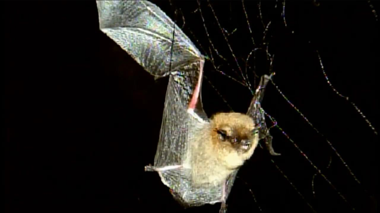 San Bernardino County health officials are trying to track down a man who came in contact with a rabid bat.