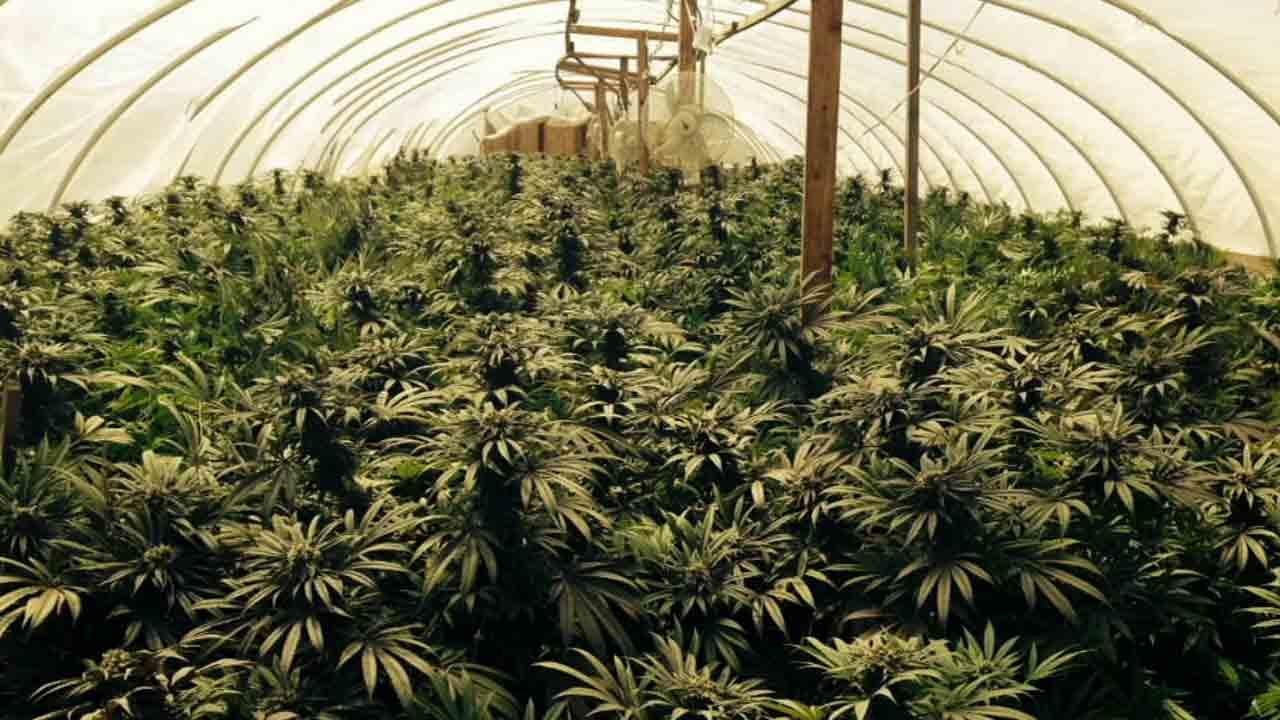 Growing Weed In Your Backyard : Two marijuanagrowing operations were discovered by the San Bernardino