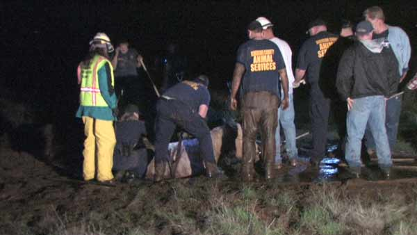 It took a small army of volunteers from Riverside County Animal Services and Norco Animal Rescue to free Mack from the mud. <span class=meta>(CasperNews)</span>