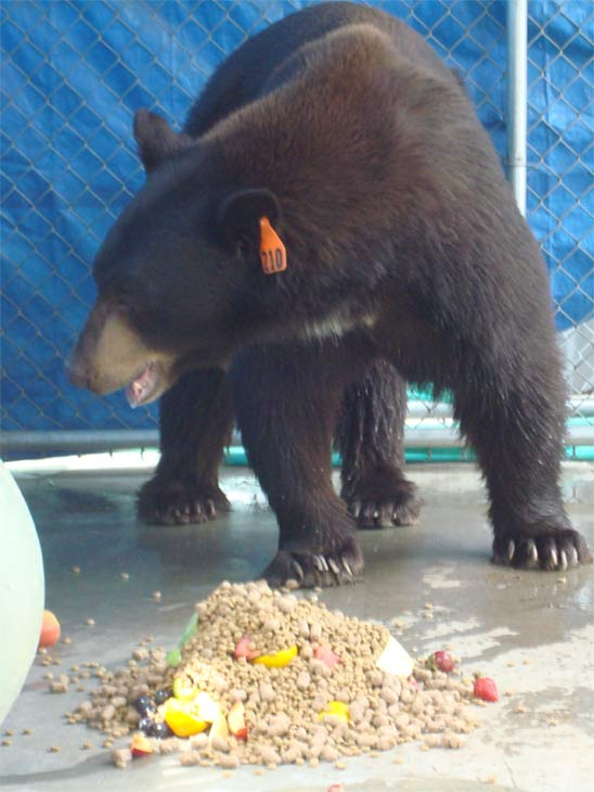 A trap baited with honey and bacon led to the capture of 'Meatball' the bear in Glendale on Wednesday, Aug. 29, 2012. He was transported to a sanctuary in San Diego County.
