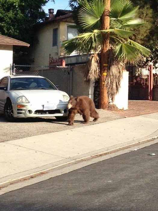 A bear walks in front of a home near La...