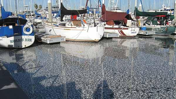 Fish suffocate, die in Redondo Beach marina