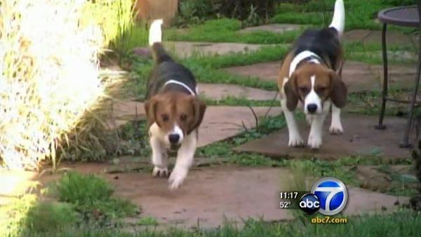 It happens across the U.S., but at least two beagles in California managed to get away. Bigsby and Freedom survived years of experimentation at a research facility.